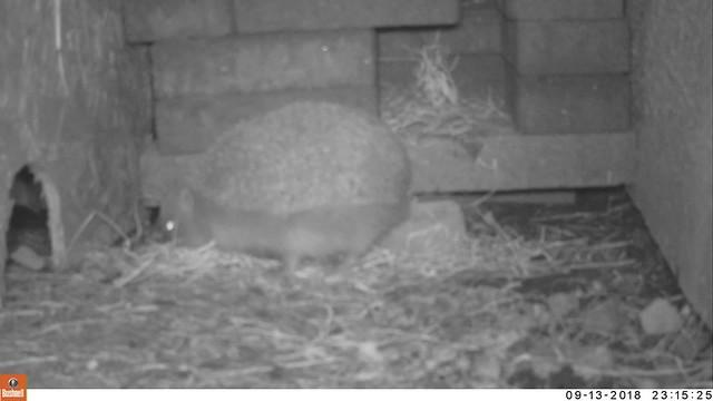 Hedgehog Moving in