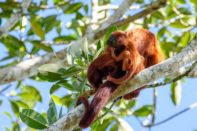 Baby...-Red howler monkey- Hurleur roux amazonia Peru