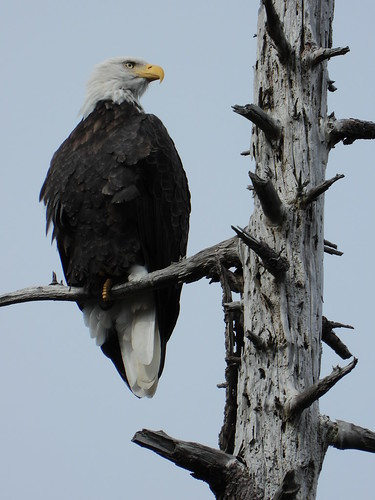 october 3 2018 13:07 - Eagle in Fosters* Fir | by boonibarb