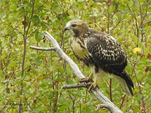 bird birdofprey swainsonshawk fishcreekpark