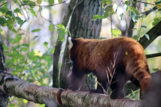 Red Panda at Highland Wildlife Park