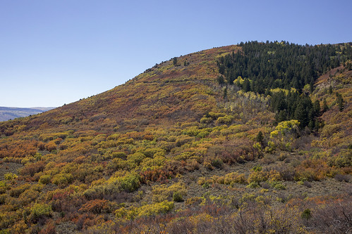 quakingaspen aspen tremblingaspen gambeloak skunkbush threeleafsumac fragrantsumac whiteriverplateau landscape colorado mountain earthnaturelife wondersofnature autumn fall fallcolors autumncolors foliage