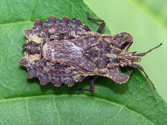 Flat bark bug Dysodius lunatus (Hemiptera Aradidae)