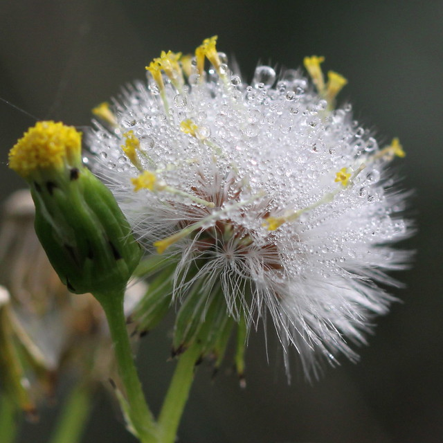 seed head with dewdrops