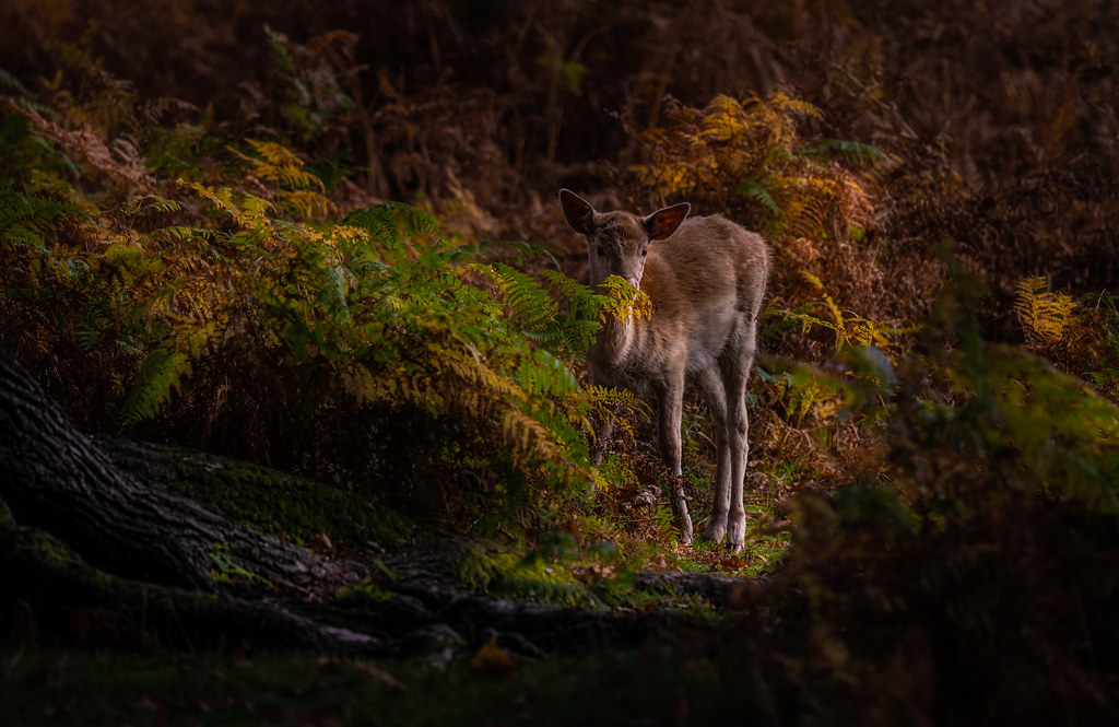 Fawn in Autumn