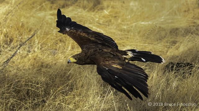 Harris Hawk Flys Low Through The Dried Grass