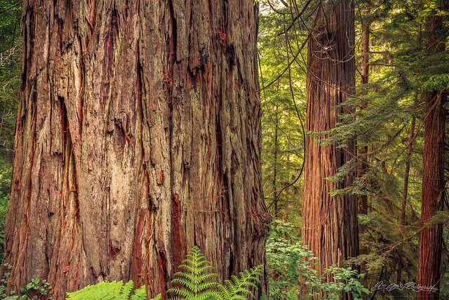 Tallest Living Things on Earth
