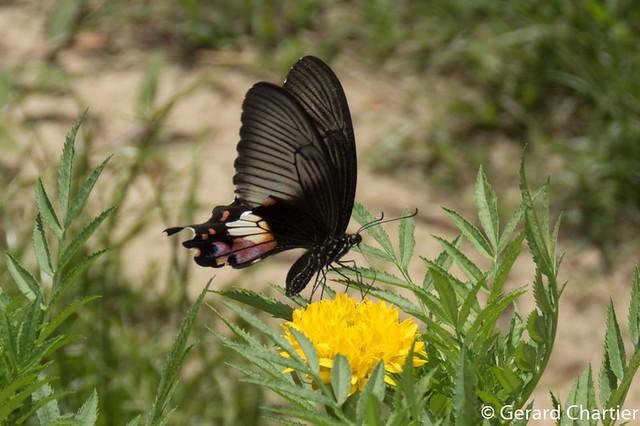 Papilio polytes romulus (Common Mormon), female