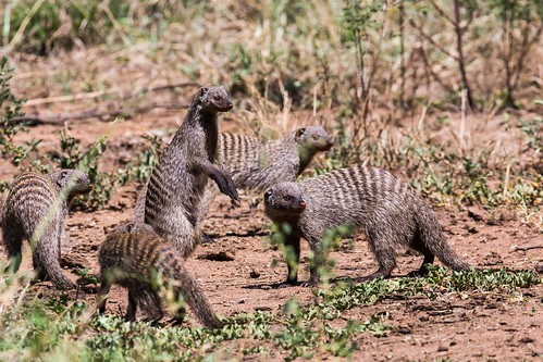 Serengeti_17sep18_12_manguste | by Valentin Groza