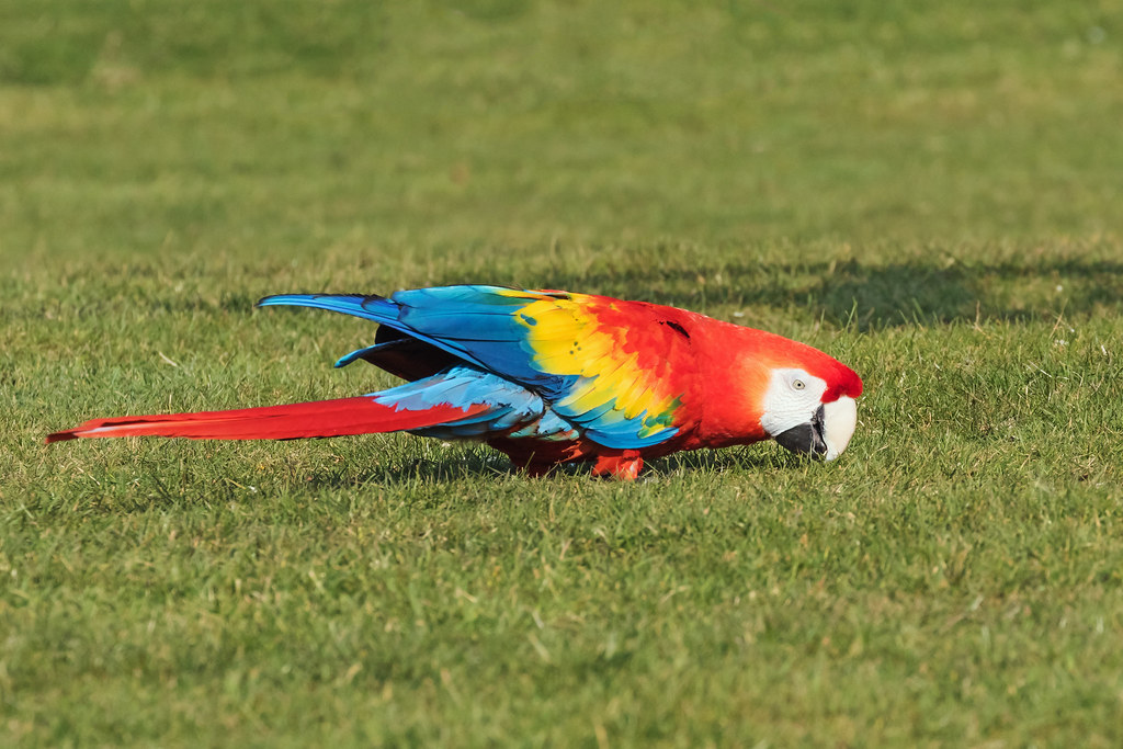 Scarlet Macaw chewing grass