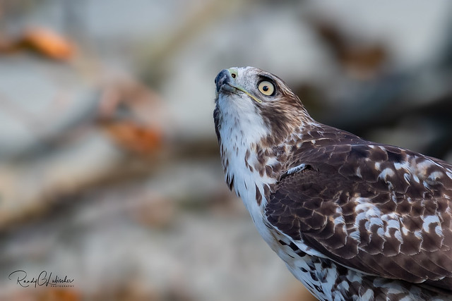 Red-tailed Hawk - Buteo jamaicensis | 2018 - 25