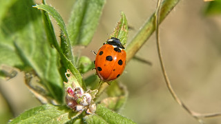1263 - Ladybird on a Leaf. | by Albert Hurwood