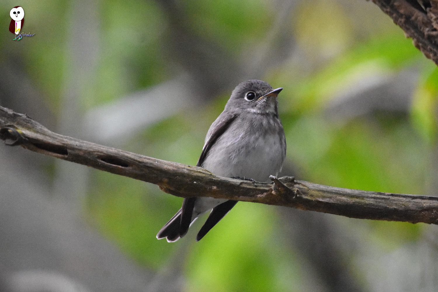 Dark-sided_Flycatcher_6059