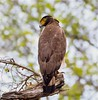 South India: Crested Serpent Eagle by spiderhunters