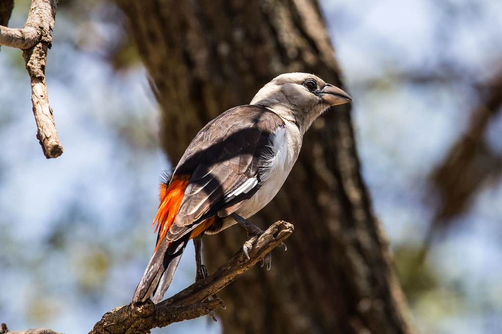 Serengeti_17sep18_14_white-headed buffalo weaver