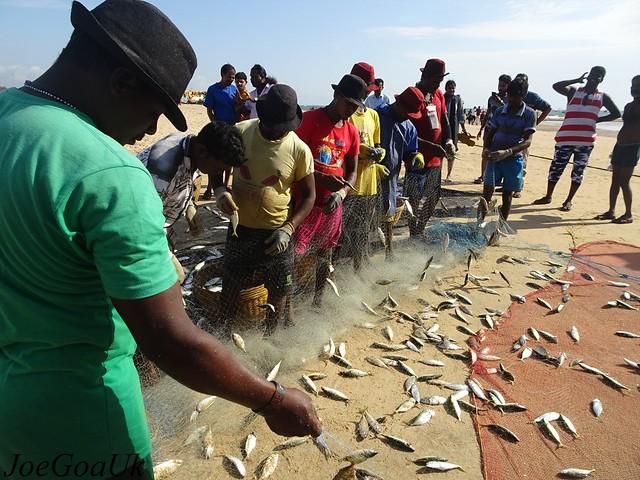 Bumper Fish catch - Mackerels