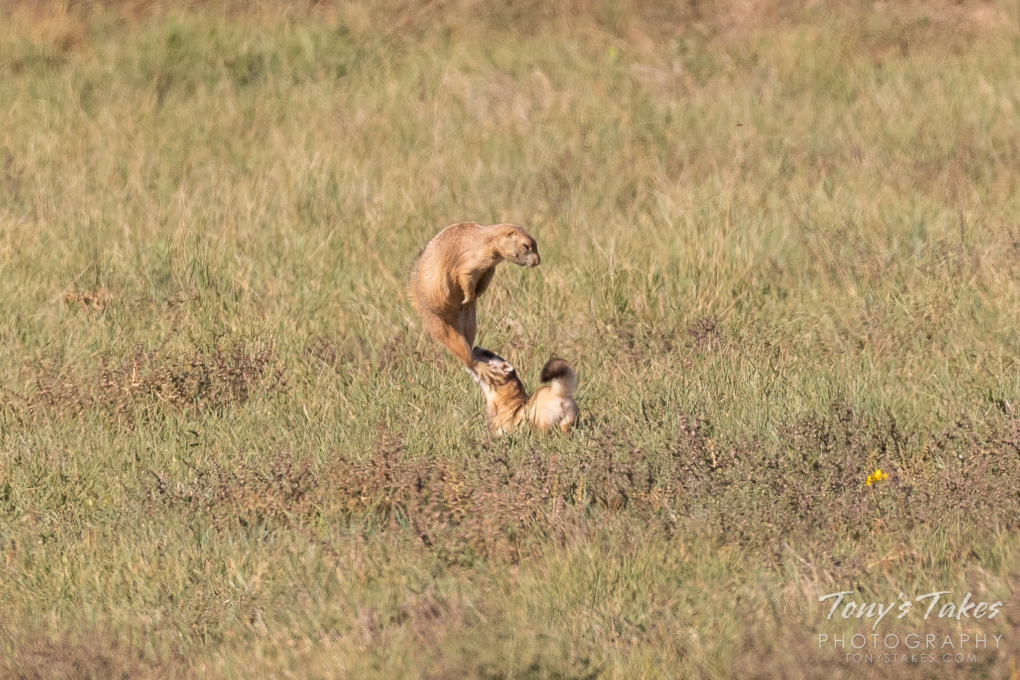 A Black-footed Ferret grabs an escaping Prairie Dog. (© Tony's Takes)