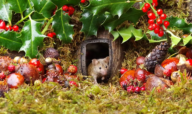 wild house mouse with holly christmas  (5)