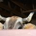Oxen 2018-Rachel Andrews Damon