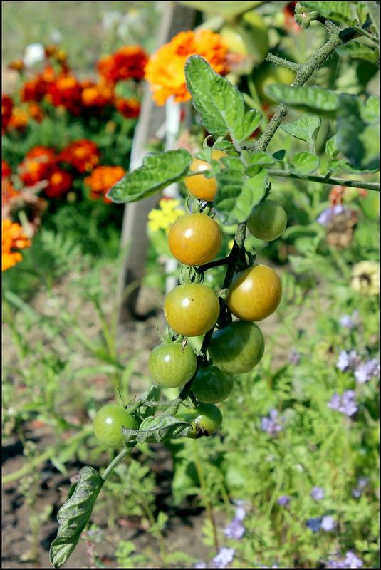 Касарги 3792 Tomato.