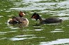 Great crested grebes feeding young - Podiceps cristatus by Maureen Pierre