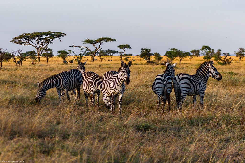 Serengeti_17sep18_21_zebre