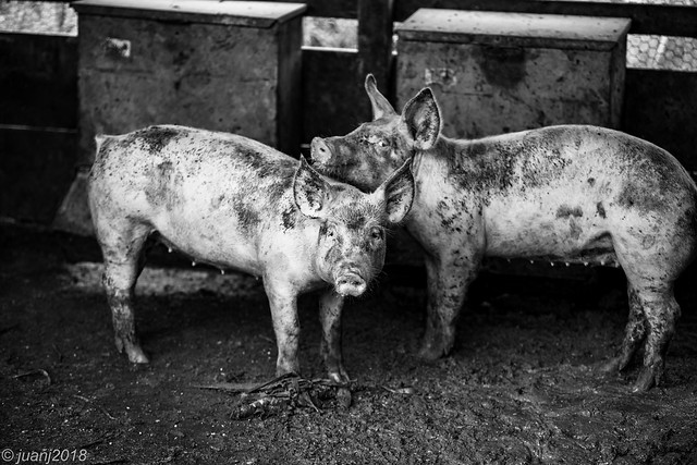 Two Pigs (B/W)
