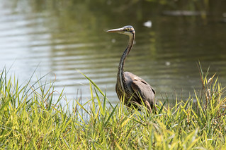 Purple Heron | by Jeremy Jeffery