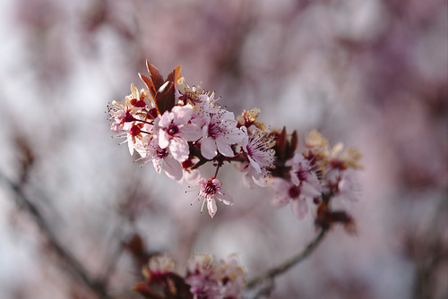 Cherry blossom | by aenigmatēs