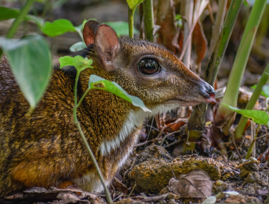 mouse deer - photo #28