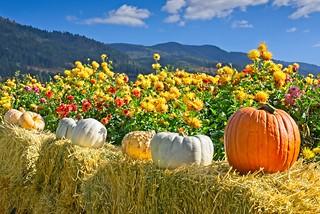 Pumpkins Dahlias 1773 C | by jim.choate59