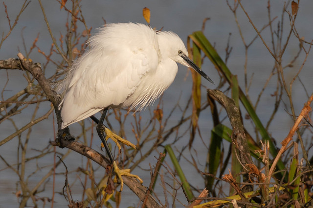 Little Egret, Lackford Lakes SWT, UK (1)