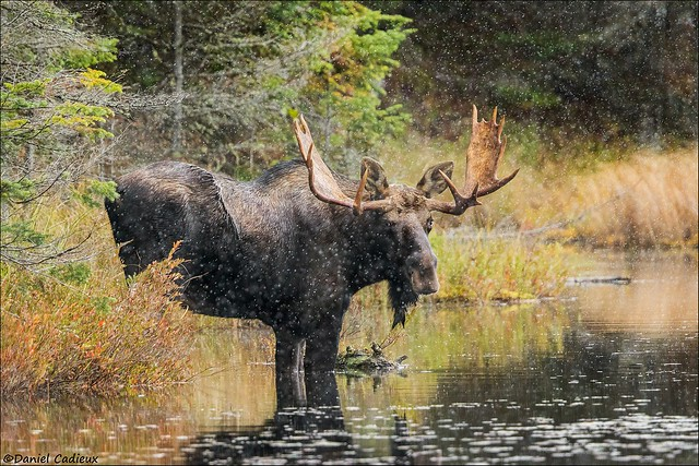 Bull Moose in Snowfall
