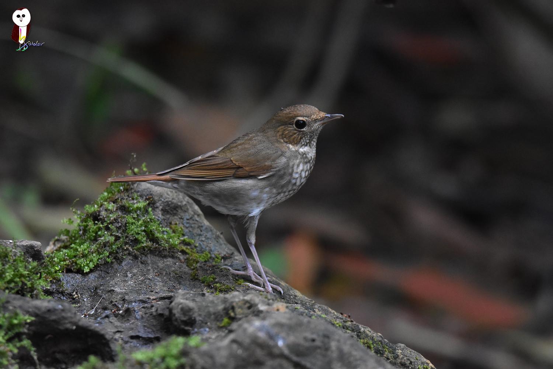 Rufous-tailed_Robin_4953