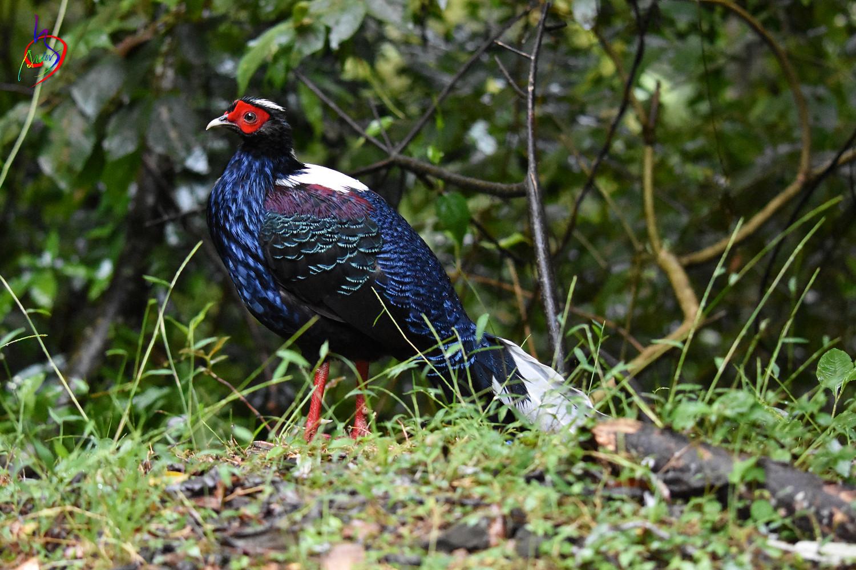 Swinhoe_Pheasant_6489