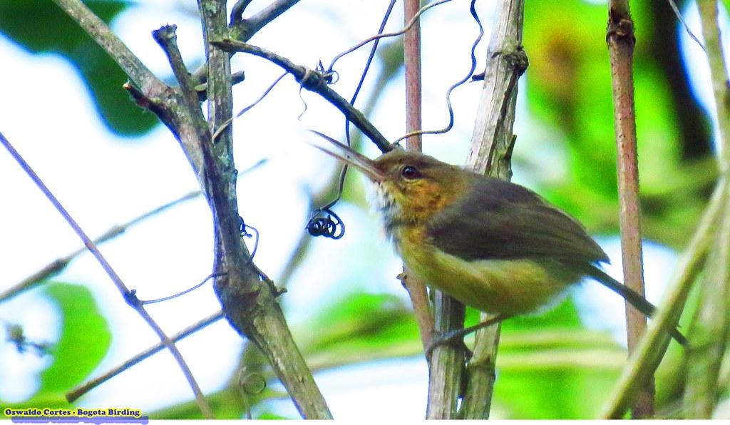 Long-billed Gnatwren, Ramphocaenus melanurus, Laguna Tabacal, Bogota Birding and Colombia birdwatching tours http://bogotabirding.com/
