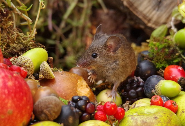 wild house mouse with wild picked fruits nuts and berries Autumn display (3)