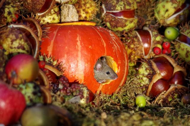 Mouse inside a Autumn pumpkin  (16)