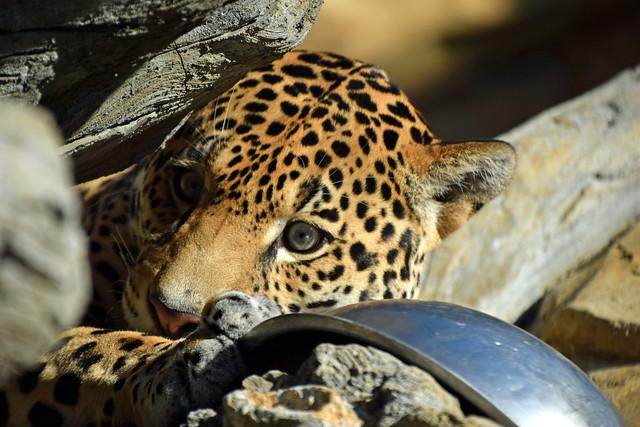 Curious as a Jaguar