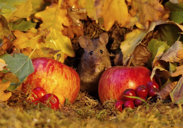 Autumn mouse  with apples  (9)