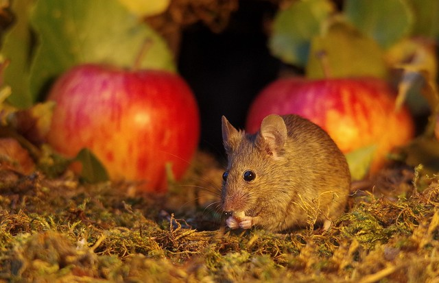 wild mouse with Autumn apples  (3)