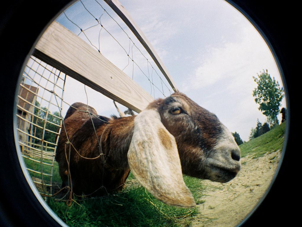 fisheye'd goat