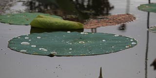 Lily Pad Ft Worth Nature Center After a Storm 9-18 | by johnd1964
