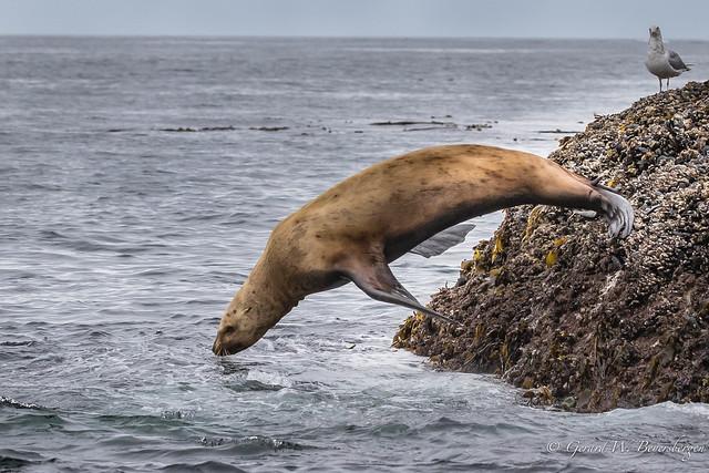 Steller's Sea Lion - Female