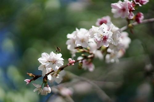 Cherry blossoms and bees | by Joe Lewit