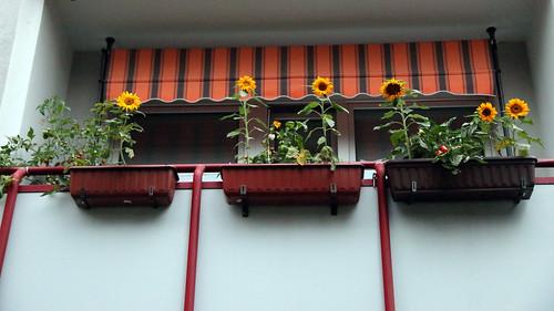 18609.Balkon Sonnenblumen
