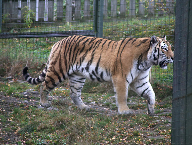 Amur tiger at Highland Wildlife Park