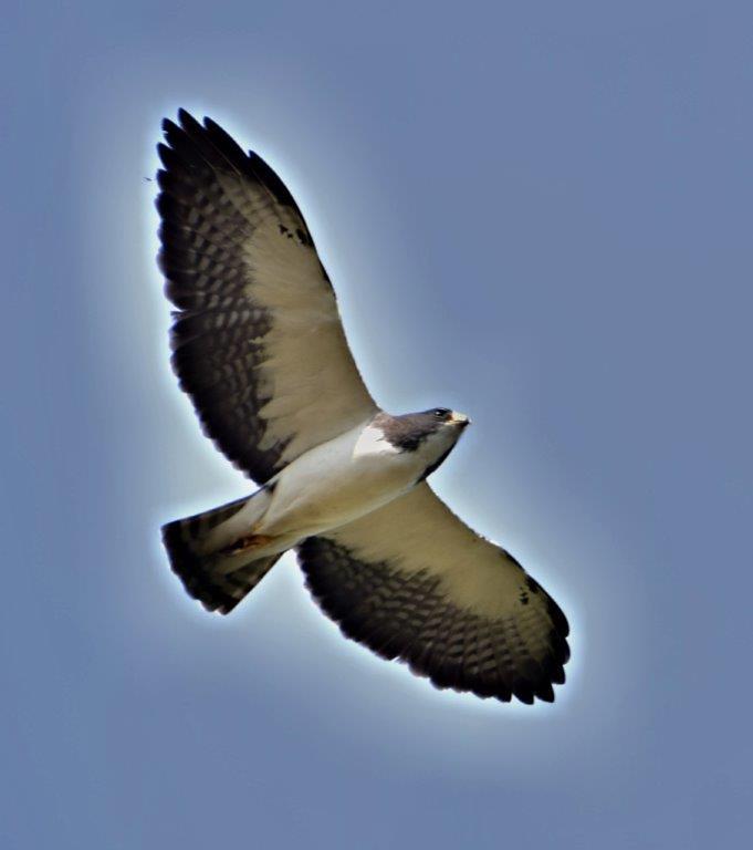 Buteo brachyurus - Águila o Gavilán rabicorto - Short-tailed Hawk
