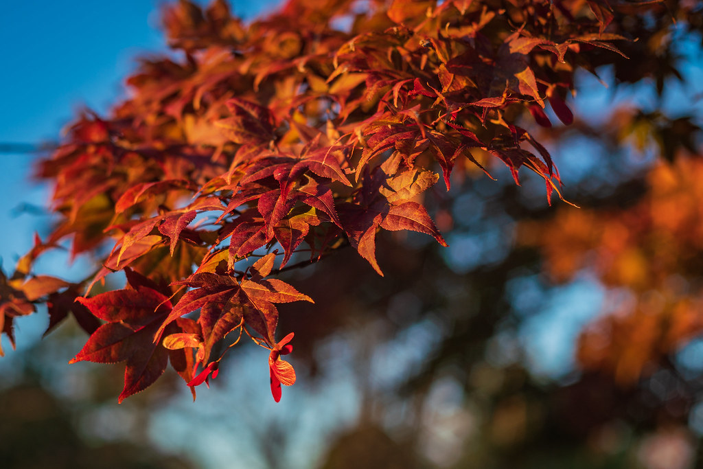 Fall Color From a Japanese Maple