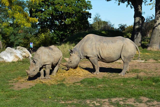 Eastern Black Rhinoceros (Diceros bicornis michaeli)
